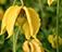 Анизодус бледно-желтый