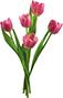 Тюльпан съедобный